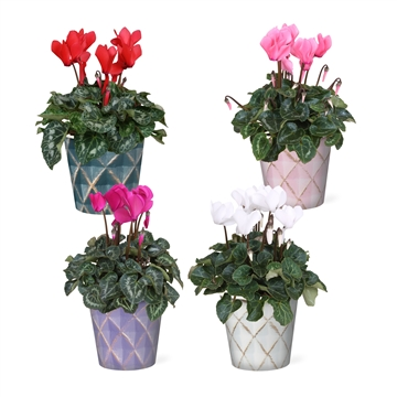 Collectie 'Passion' - Cyclamen in Smartcup Veerle