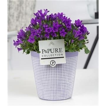Campanula Porto LL Pure Clay Lavender