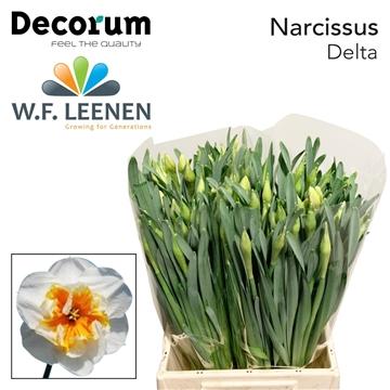 Narcissus 'Delta'