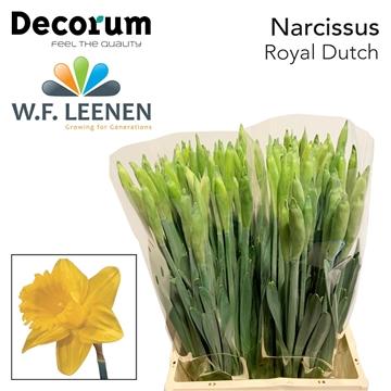 Narcis Royal Dutch