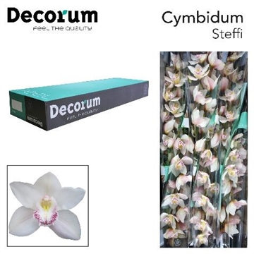 CYMB T Steffi Decorum
