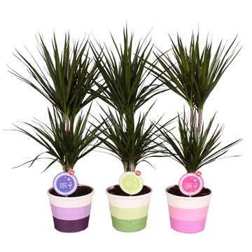 """MoreLIPS® Dracaena marginata 30-10 in Sisal """"Rainbow"""" pot 3 kleuren"""