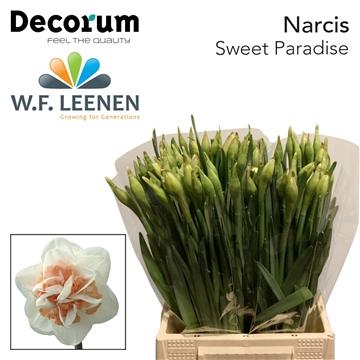 Narcis Sweet Paradise