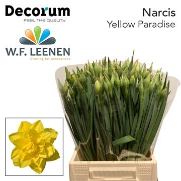 Narcis Yellow Paradise