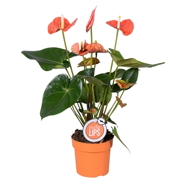 MoreLIPS® Anthurium Andreanum Madural Orange