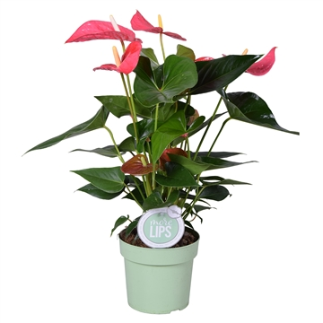 MoreLIPS® Anthurium Andreanum Maine