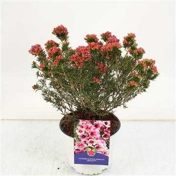 Waxflower Sarah's delight bush
