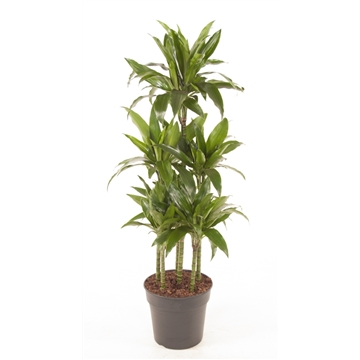 Dracaena fragrans Lisa 90-carrousel