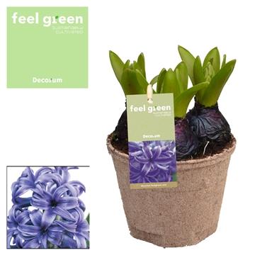 Hyacint Blue Pearl FEEL GREEN