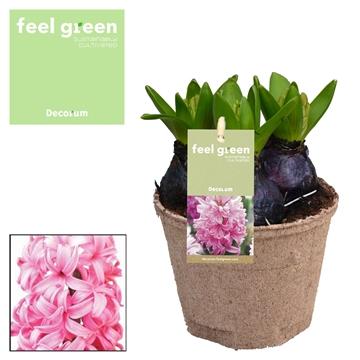 Hyacint Pink Pearl FEEL GREEN