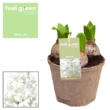 Hyacint White Pearl FEEL GREEN