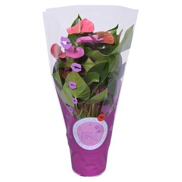 MoreLIPS® Anthurium Andreanum Cavalli in ShowHoes