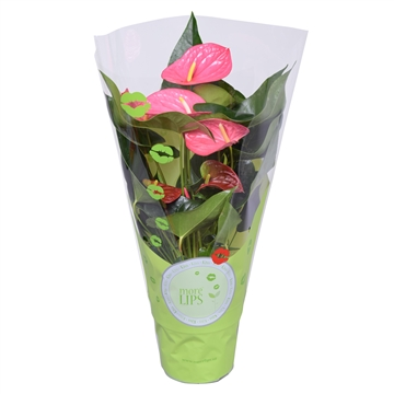 MoreLIPS® Anthurium Andreanum Maine in ShowHoes