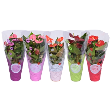MoreLIPS® Anthurium mix in ShowHoes