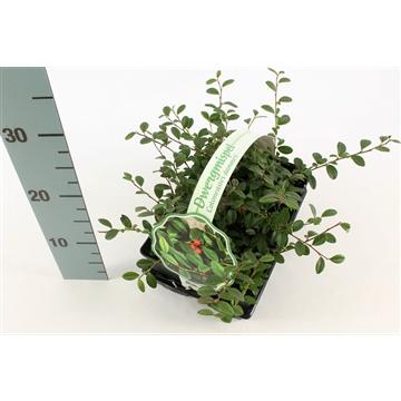 Cotoneaster dammeri 6-pack