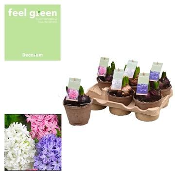 Hyacint Gemengd FEEL GREEN