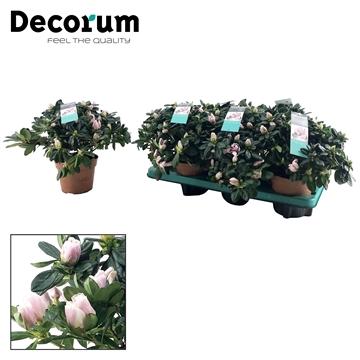 Azalea 14 cm 'Trivor' Decorum