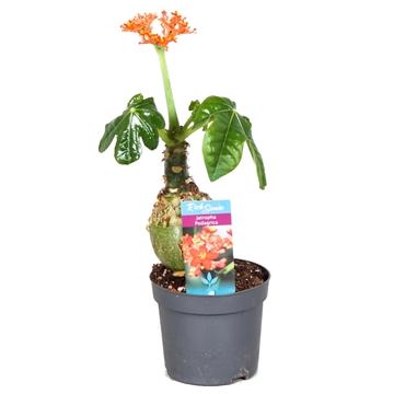 Jatropha Podagrica oranje