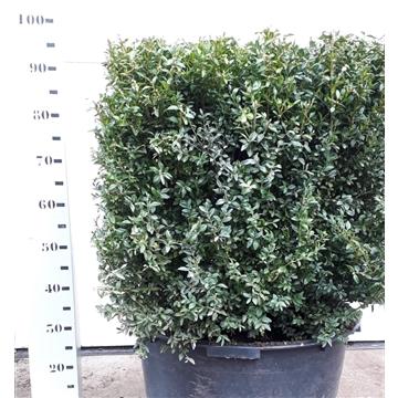 Buxus sempervirens kubus 60cm