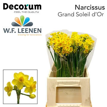Narcis Grand Soleil d' Or