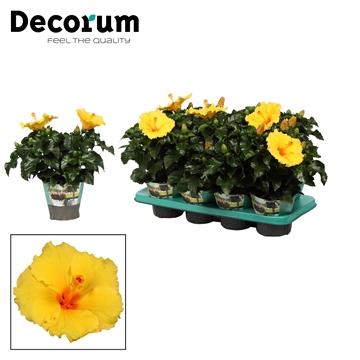 Hibiscus Aura geel