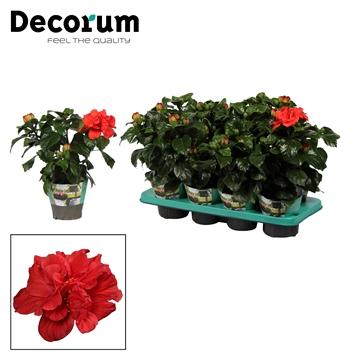 Hibiscus Bonbon rood dubbelbloemig