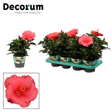 Hibiscus Kandy roze