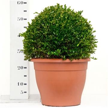 Buxus 'Green Velvet' bol 35-40cm