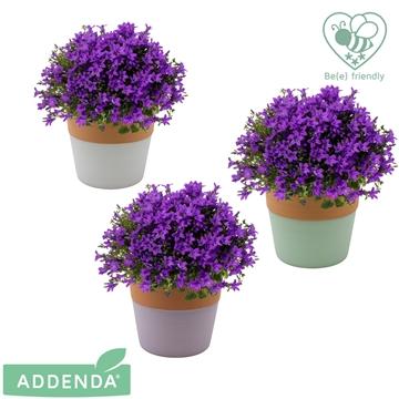 Campanula intense purple in 3-kleur Terra Cotta