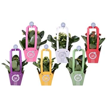 MoreLIPS® Kalanchoe bloss. gevuld in tasje met knijper