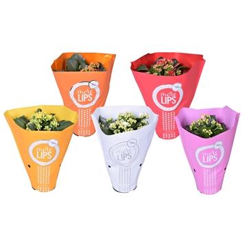 MoreLIPS® Kalanchoe bloss. gevuld Calandiva Basismix 5 kleuren in Metallic Hoes