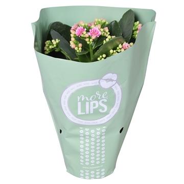 MoreLIPS® Kalanchoe bloss. gevuld Calandiva White-rose in Metallic Hoes