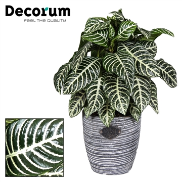 Botanica Aphelandra  Green Robuust grey pot