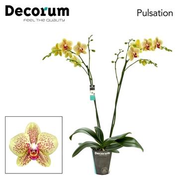 Phalaenopsis 2-Tak Pulsation