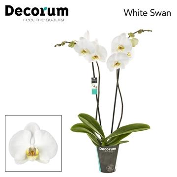 Phalaenopsis 2-Tak White Swan