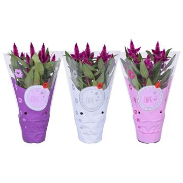 MoreLIPS® Celosia argentea Intenz Dark Purple in ShowHoes