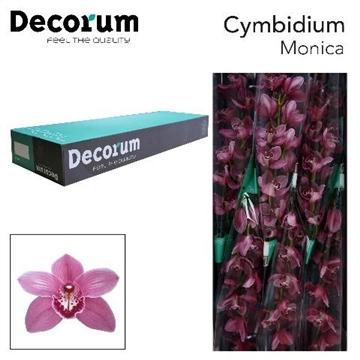 CYMB T MONICA Decorum 6