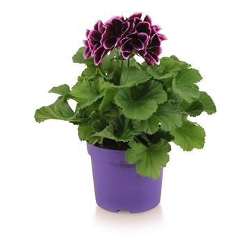 Pelargonium Grandiflorum ''Denise''