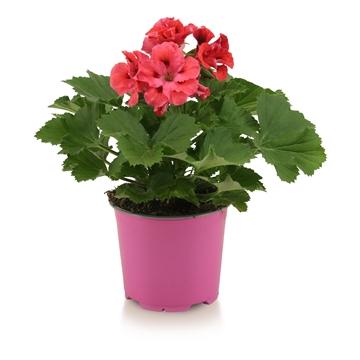 Pelargonium Grandiflorum ''Femke''