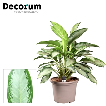 Aglaonema Cleopatra in deco pot (Decorum)