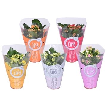 MoreLIPS® Kalanchoe bloss. gevuld Calandiva Basis mix 5 kleuren in ShowHoes