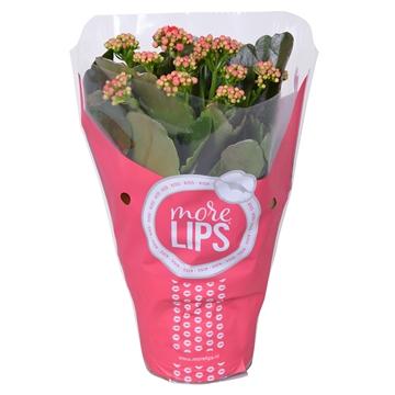 MoreLIPS® Kalanchoe bloss. gevuld Calandiva Red