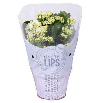 MoreLIPS® Kalanchoe bloss. gevuld Calandiva White