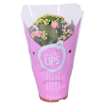 MoreLIPS® Kalanchoe bloss. gevuld Calandiva Pink