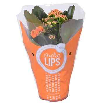 MoreLIPS® Kalanchoe bloss. gevuld Calandiva Orange