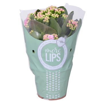 MoreLIPS® Kalanchoe bloss. gev. Caland. White rose