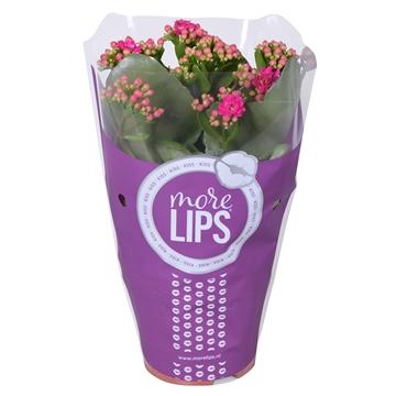 MoreLIPS® Kalanchoe bloss. gevuld Calandiva Purple