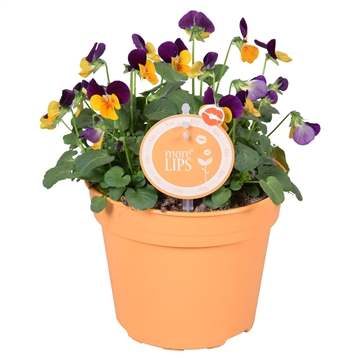 MoreLIPS® Viola Cornuta orange