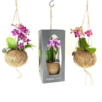 Kokodama Gift Package - Orchid 2 Tak      NO PLASTIC 100% natural