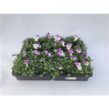 Viool cornuta roze viola